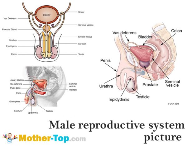 The male reproductive system mother top male reproductive system picture ccuart Choice Image